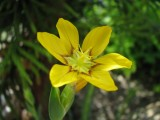 Sisyrinchium macrocarpon