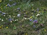 016 zakvitnutá alpská lúka