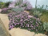 013 Erodium reichardii Roseum