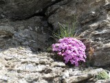 006 Dianthus microlepis