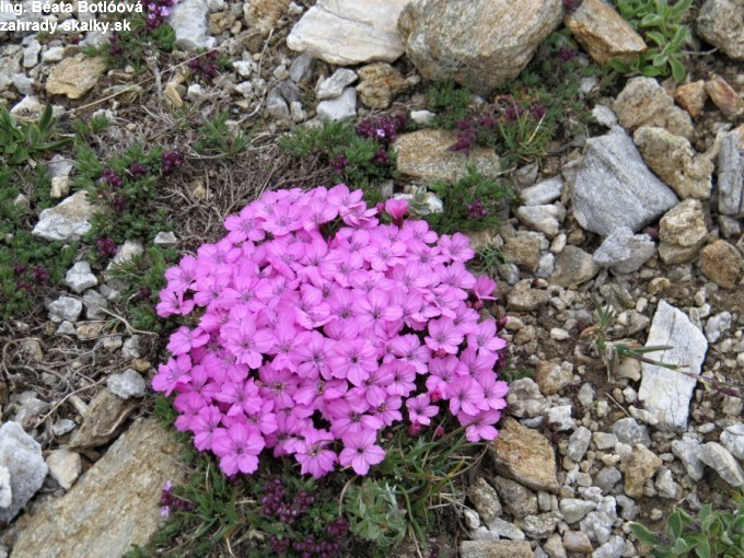 023 Dianthus microlepis