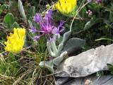 027 Centaurea achtarovii