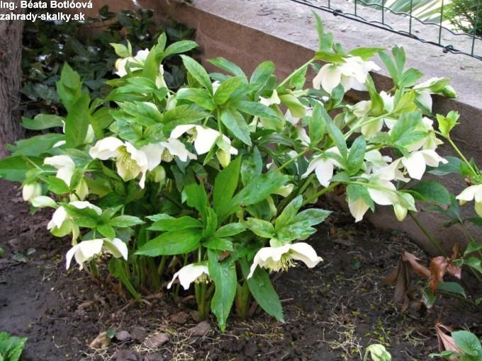 002 Helleborus orientalis