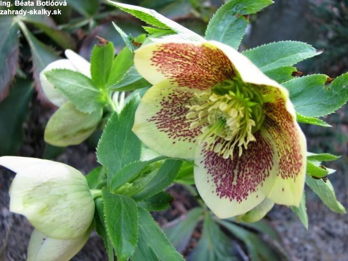 003 Helleborus orientalis hyb.