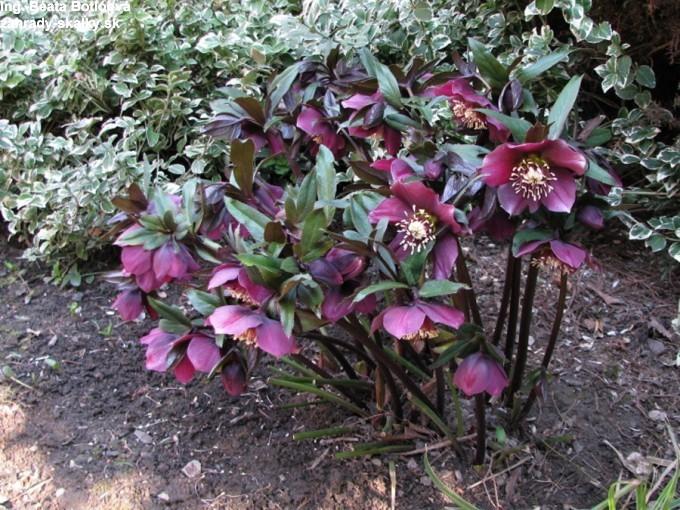 005 Helleborus orientalis 'purpurea'
