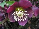 006 Helleborus orientalis 'purpurea'