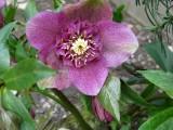 009 Helleborus orientalis hyb.