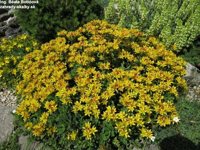 Sedum floriferum