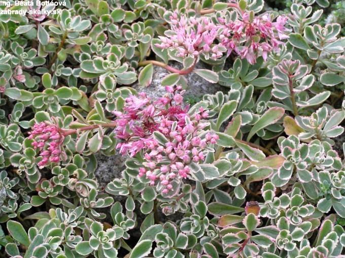 Sedum spurium variegata